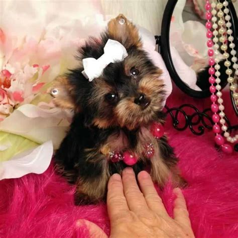 teacup yorkie grown for sale tiny trisha teacup terrier puppy she most likely will be around 2