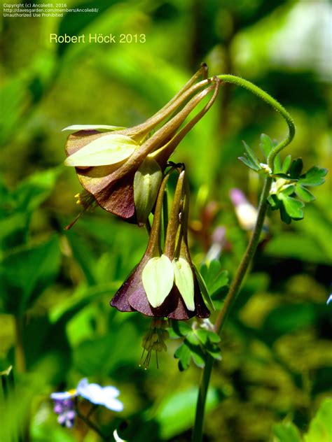 plantfiles pictures green flowered columbine chocolate soldier aquilegia viridiflora by