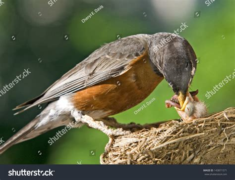a mother robin feeding her baby worms plenty of space for