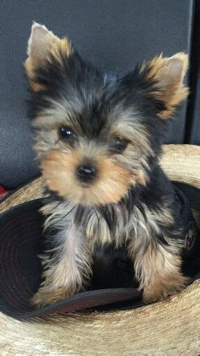 black yorkie puppies for sale 25 b 228 sta yorkie puppies for sale id 233 erna p 229 teacup yorkie