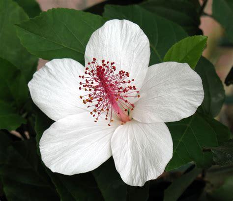 photos of flowers oahure hawaii flowers