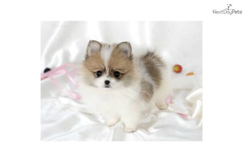 tiny micro teacup pomeranian sale teacup pomeranian puppies for sale