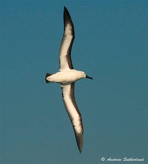 pelagic bird species recorded off richards bay kwazulu natal