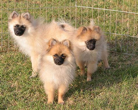 pomeranian breeders in ontario ckc registered pomeranian puppies for sale adoption from neebing ontario thunder bay