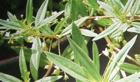 Obat Rumput Rumput Mutiara Sehatherba
