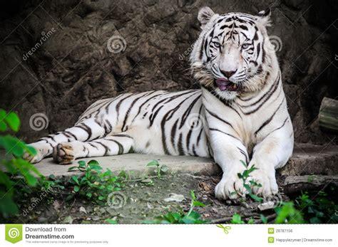 imagenes tigre blanco bengala tigre blanco foto de archivo imagen de animal gato