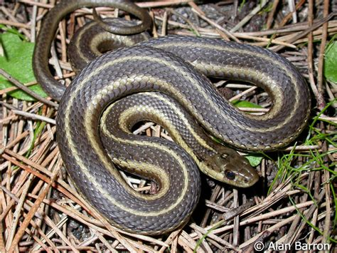 Garden Snake With Stripes Snakes Where You Live Page 2 Ruger Talk Ruger Forum