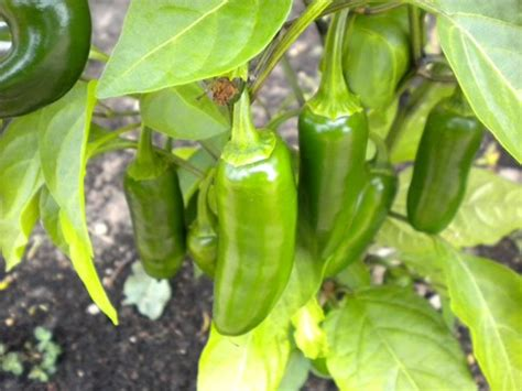 types of garden peppers pepper jalapeno tam