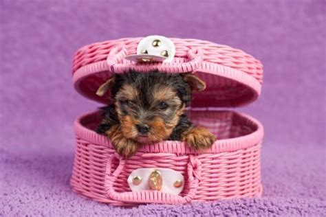 yorkie puppies in pictures of yorkie dogs and puppies pets world