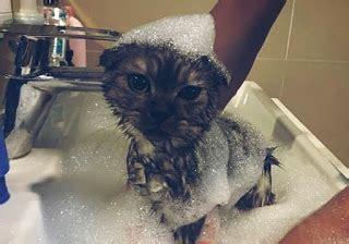 Hair Dryer Yang Bagus Untuk Kucing cara memandikan kucing yang baik dan benar hobinatang