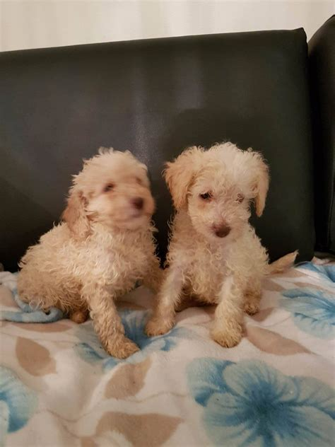 poodle puppies for sale mini poodle puppies for sale widnes cheshire pets4homes