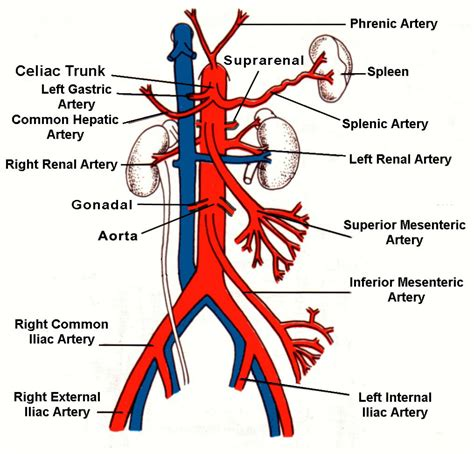 diagram of femoral artery anatomy of femoral artery femoral artery and vein anatomy