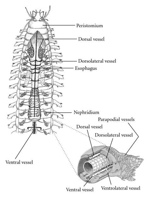 general earthworm diagram a review of the open and closed circulatory systems new terminology for complex