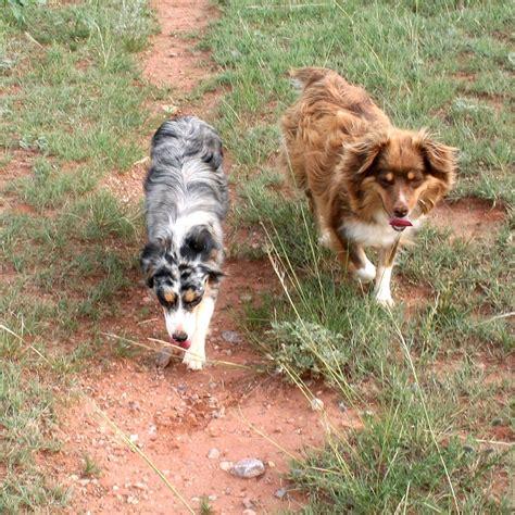 miniature australian shepherd puppies for sale cheap australian cattle puppies for sale akc puppyfinder autos post