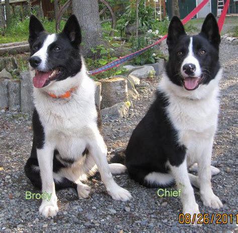 karelian puppies for sale karelian puppies for sale uk breed dogs spinningpetsyarn