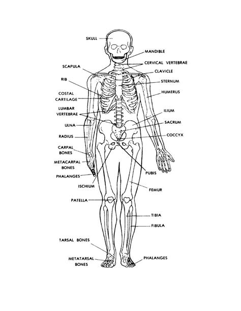 printable anatomy quiz human skeleton labeled back view anatomy and physiology