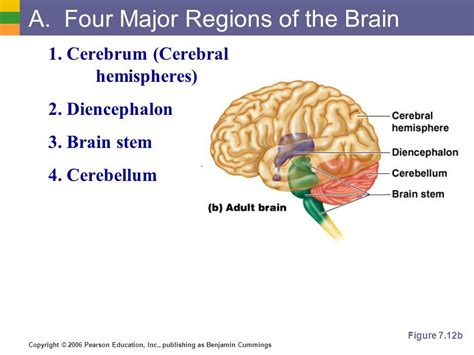 major sections of the brain biom 2000 at university of guelph studyblue