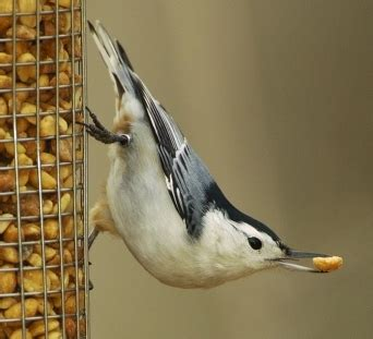 wild birds unlimited why the nuthatch walks upside down