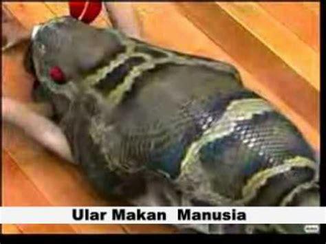 ular makan makan manusia part  youtube