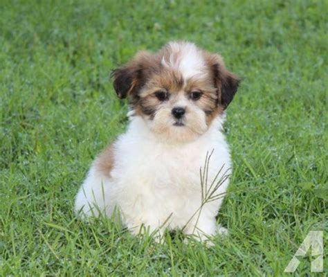 teddy puppies mn teddy puppies 4 males for sale in andover minnesota classified