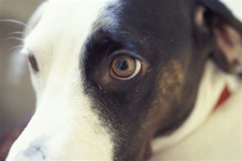 how much is cataract surgery for dogs how much is cataract surgery for dogs cuteness