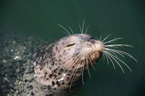 what do whiskers do for a whisker www pixshark images galleries with a bite