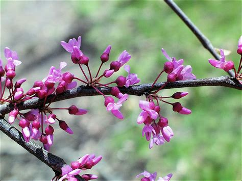 isu forestry extension tree identification redbud cercis canadensis