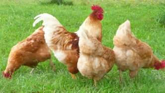 Backyard Chickens Australia Isa Brown De Website Van Kippenfreak
