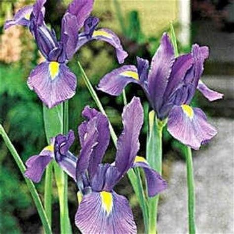 iris linguaggio dei fiori iris linguaggio dei fiori iris linguaggio dei fiori