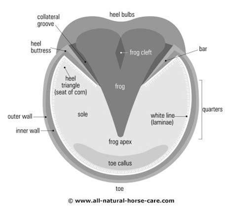 hoof diagram image gallery hoof diagram