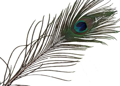 Picture Of Peacock Feather Single Peacock Feather Wallpaper