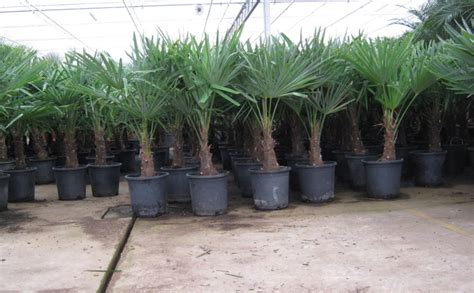 winterharde palmboom in tuin tuin archives de woon architect
