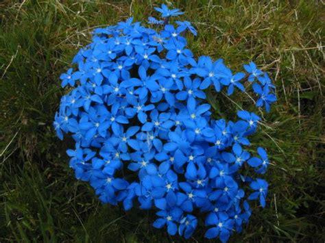 fiori azzurri nomi la genziana o gentiana pianta adatta per giardini rocciosi
