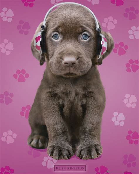 puppy with headphones chocolate lab puppy with headphones pets