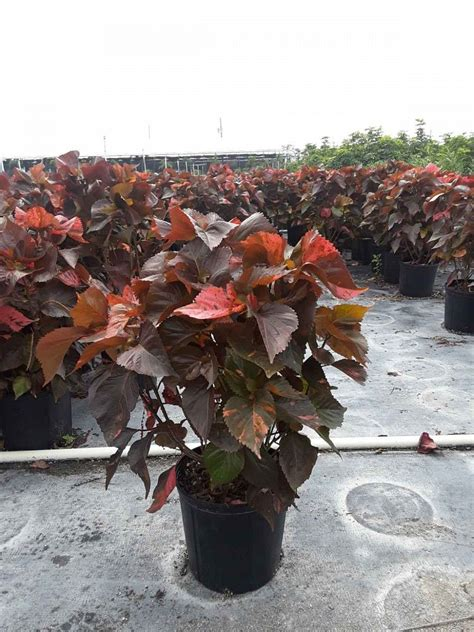 Acalypha Wilkesiana Blaze acalypha wilkesiana louisiana copperleaf plantvine