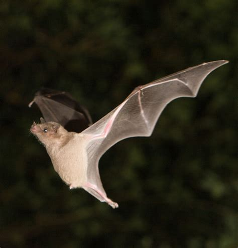 Ranch Style Houses by Lesser Long Nosed Bat Flickr Photo Sharing