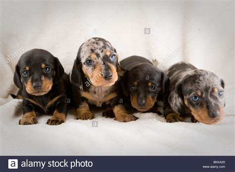 free dachshund puppies in two week dapple dachshund puppies stock photo royalty free image 30696792 alamy