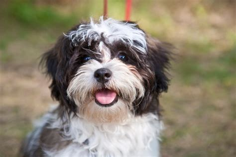 facts about shih tzu shih tzu breed information