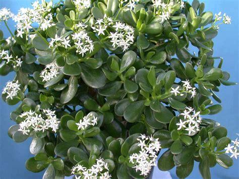 jade plant  good luck prosperity  friendship