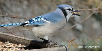 Backyard Birds Of Indiana Alabama Wild Birds Wild Bird Co Bird Feeding Watching Al