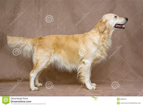 golden retriever convention beautiful golden retriever in show stand stock photo