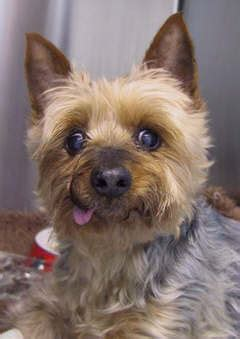yorkie pancreatitis quot barney quot terrier with acute pancreatitis