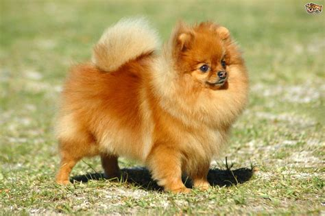 kinds of pomeranian dogs pomeranian breed information buying advice photos and facts pets4homes
