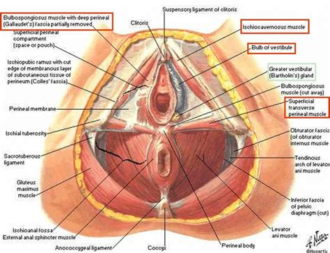 diagram of perineum perineum anatomy human anatomy diagram