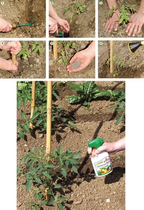 come coltivare pomodori in vaso coltivare pomodori fai da te in giardino