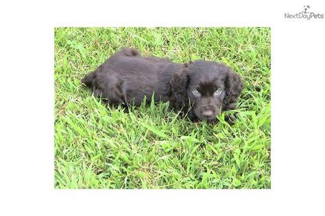 boykin spaniel puppies for sale in nc boykin spaniel puppy for sale near carolina 6dfc2eed 8c41