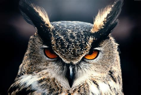 Wallpaper Owl, 4k, HD wallpaper, Eyes, wild, nature, gray