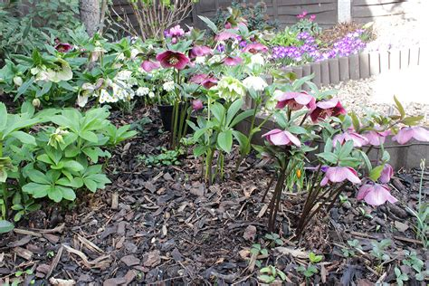 graphicality uk my hellebores