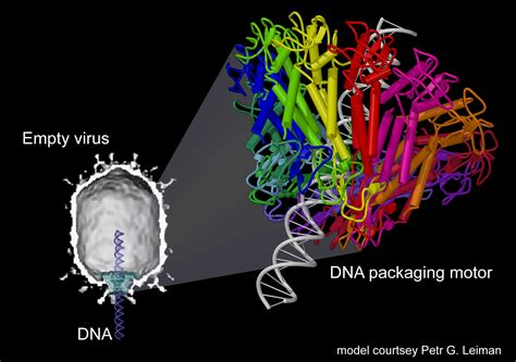 All Systems Go For Tuesday Dna Reveal by Study Reveals Structure Of Dna Packaging Motor In Virus