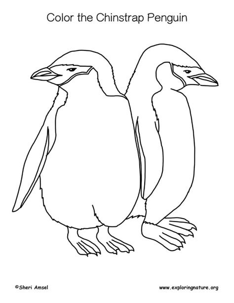 penguin coloring page pdf penguin chinstrap coloring page